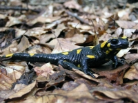 Salamandra škrvnitá