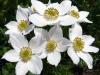 Veternica narcisokvetá